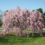 Spreading Beauty: Plant a Weeping Cherry Tree This Spring