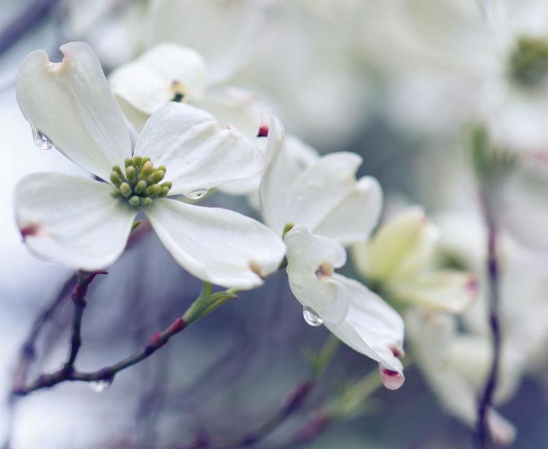 Garden_Dogwood_RV-S2018-1