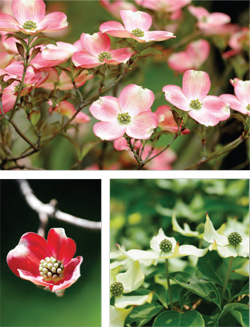 Garden_Dogwood_RV-S2018-2