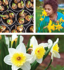 Garden_Daffodil6