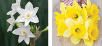 Garden_Daffodil7